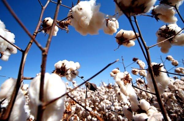 Lavoura de algodão na Bahia, um dos principais estados produtores do Brasil — Foto: Ernesto Rodrigues/Agência Estado