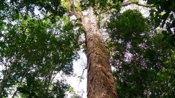 A mais alta das árvores gigantes da Amazônia está dentro de uma unidade de conservação estadual de uso sustentável, a Floresta Estadual do Parú (PA) — Foto: Divulgação/Jhonathan dos Santos