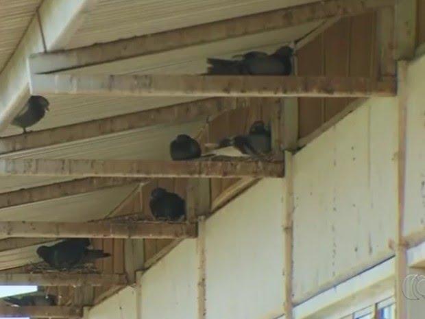 Histoplasmose é transmitida pelas fezes de pombos, alertam especialistas (Foto: Reprodução/TV Anhanguera)